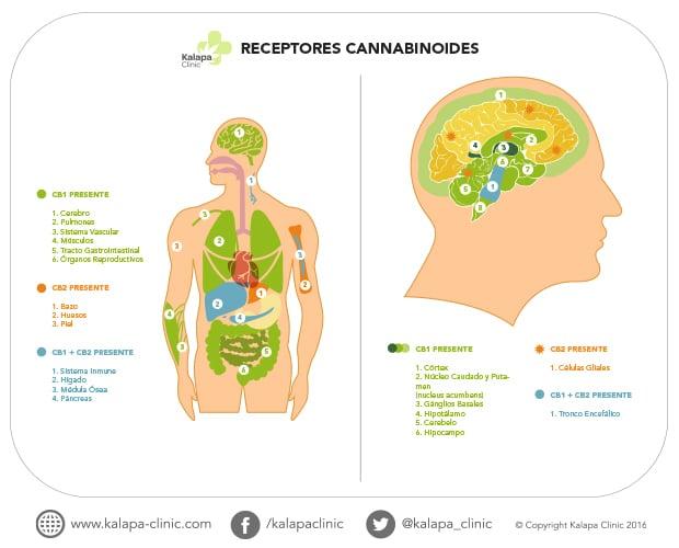 Receptores cannabinoides | Kalapa Clinic