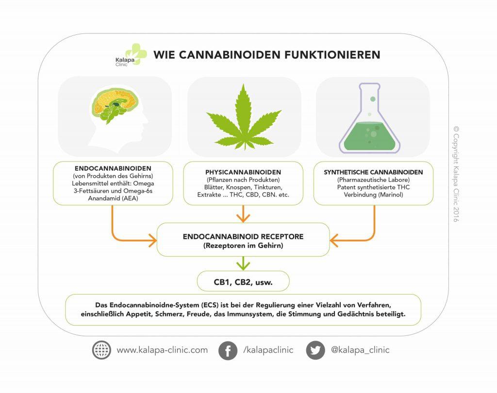 Das Endocannabinoidne-System