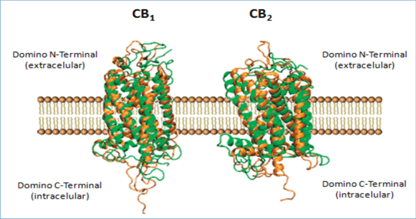 Structure of Cannabinoid Receptors CB1 and CB2