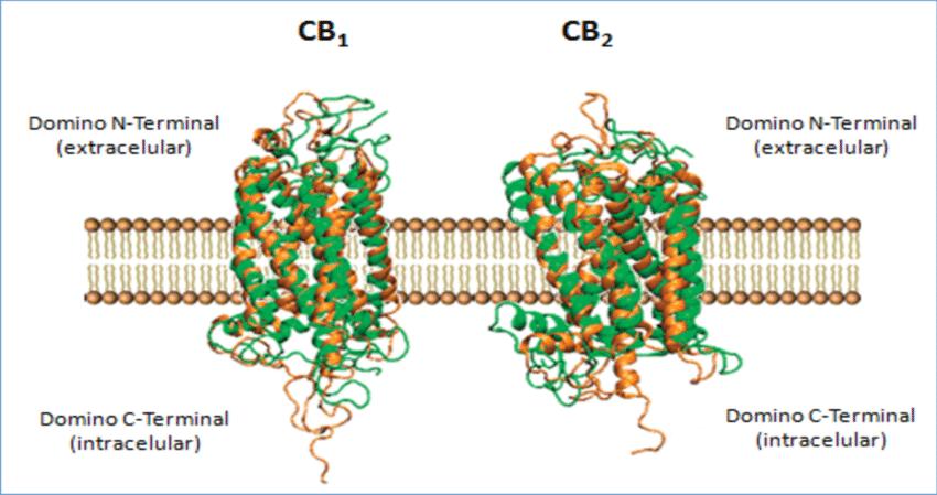 Estructura receptores cananbinoides CB1 y CB2