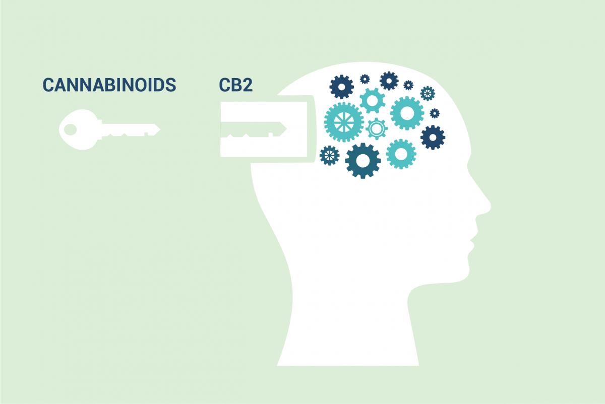 CB2 receptor