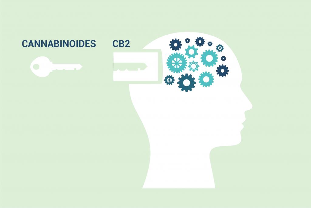 récepteur CB2
