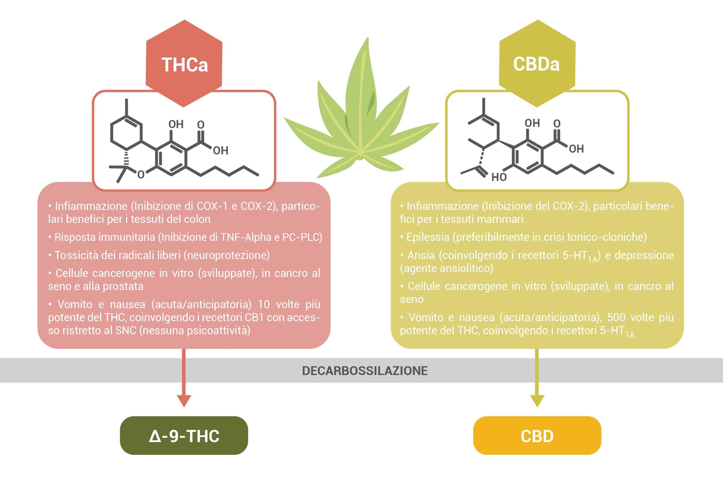 Cannabinoidi Acidi: benefici medicinali del THCa e CBDa