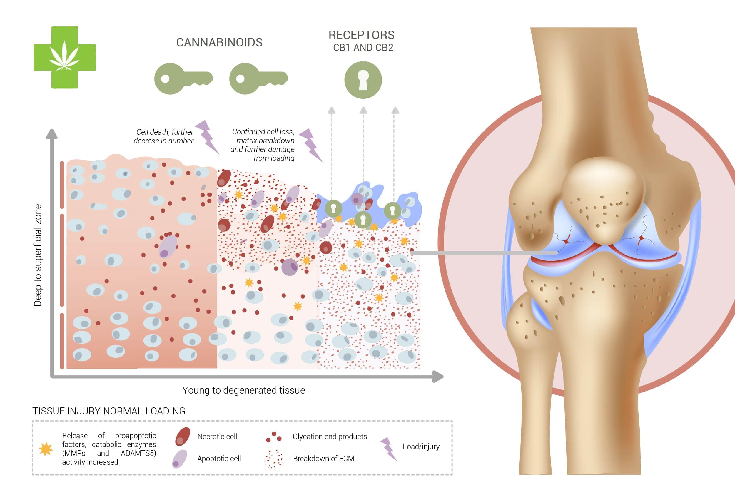 Cannabinoids may help cartilage tissue repairing