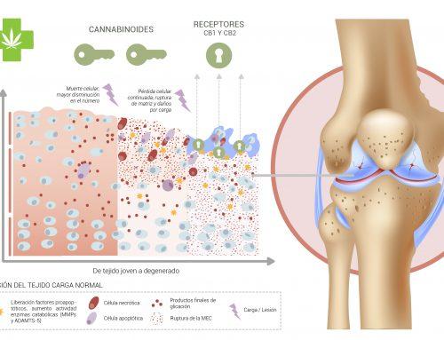Los cannabinoides podrían ayudar a reparar el tejido del cartílago