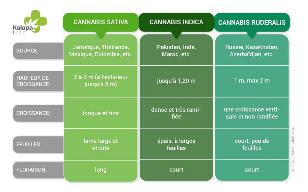 Différences entre le cannabis sativa, l'indica et le ruderalis   Kalapa Clinic