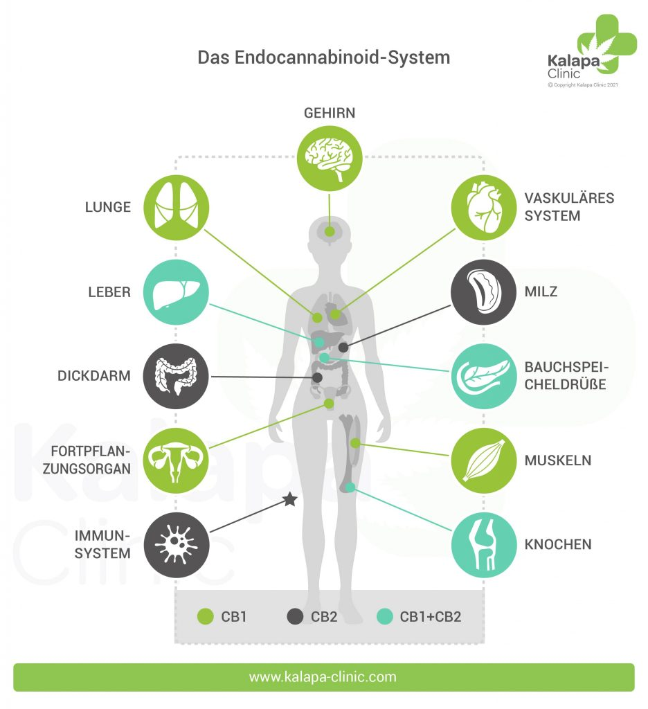 Cannabinoid-Rezeptor-Infographien   Kalapa Clinic