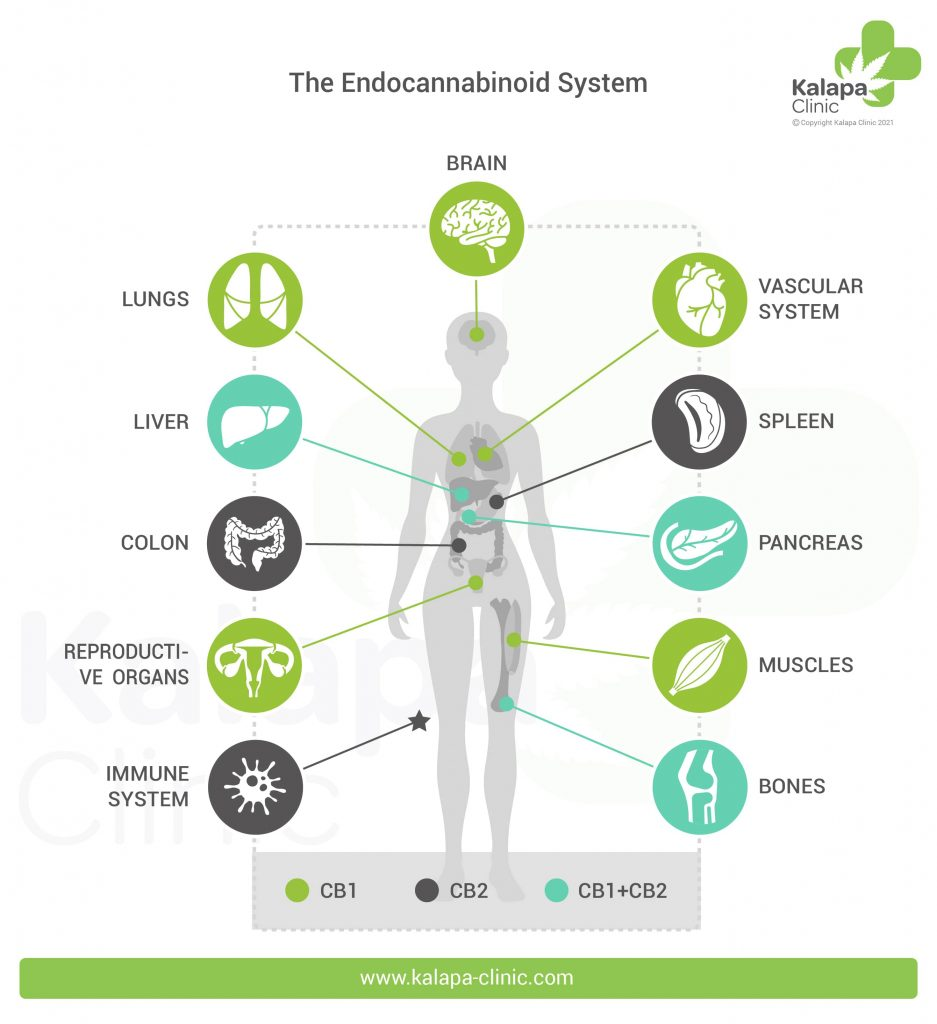 Infographics on the Endocannabinoid System ( SEC) | Kalapa Clinic